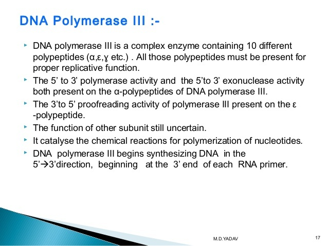 in e. coli, what is the function of dna polymerase iii?-1