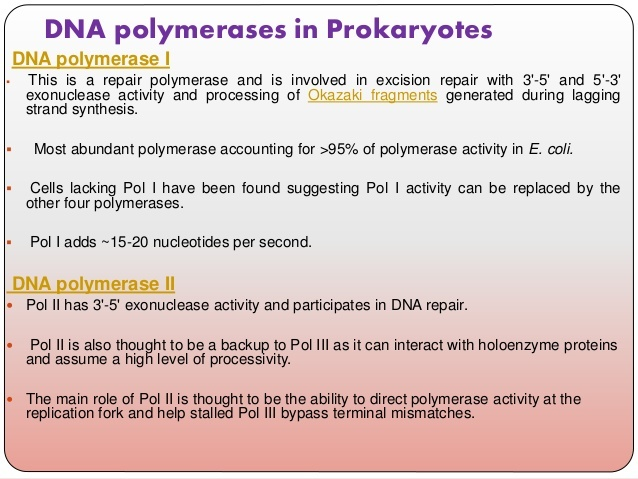 in e. coli, what is the function of dna polymerase iii?-3