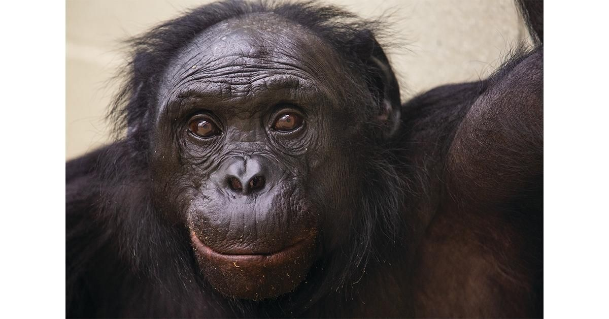 the adult male bonobo who is skilled at symbolic communication with human researchers is-0
