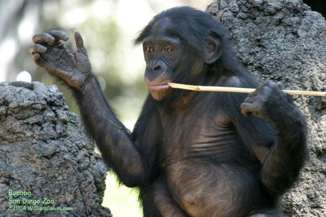 the adult male bonobo who is skilled at symbolic communication with human researchers is-1