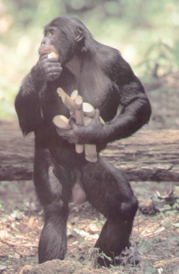 the adult male bonobo who is skilled at symbolic communication with human researchers is-2