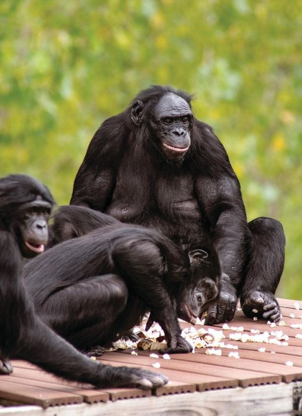 the adult male bonobo who is skilled at symbolic communication with human researchers is-4