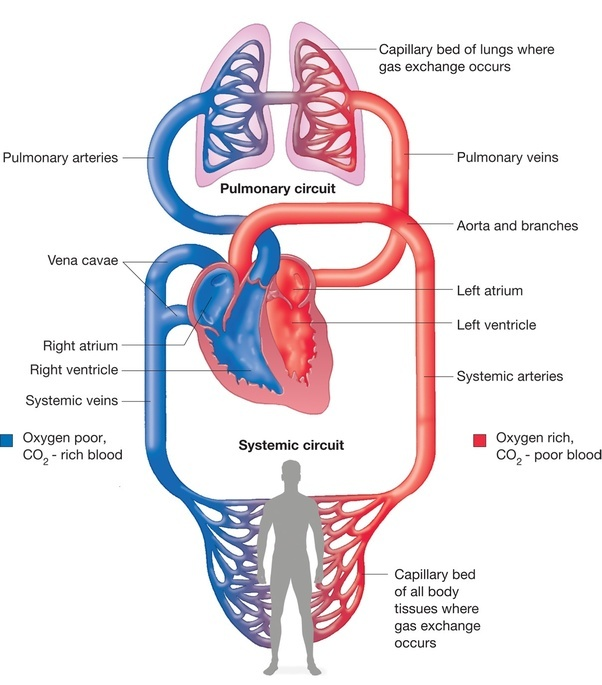 what is unique about blood in pulmonary arteries compared with blood in other arteries?-4