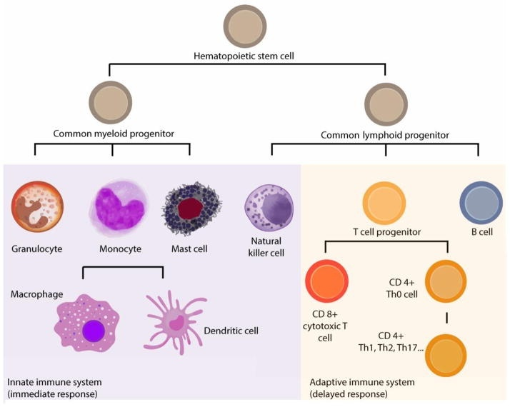what major advantage is conveyed by having a system of adaptive immunity?-3