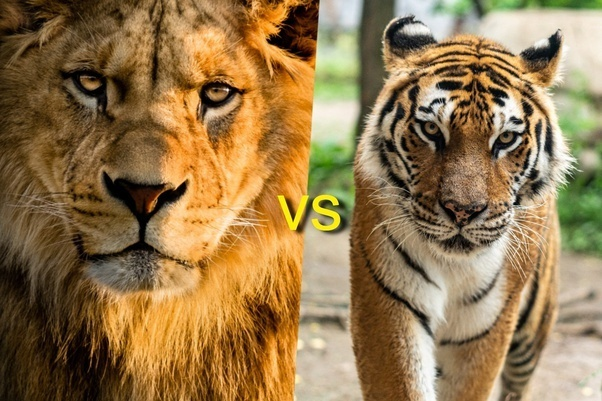 who is the king of the jungle lion or tiger-0