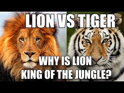 who is the king of the jungle lion or tiger-1