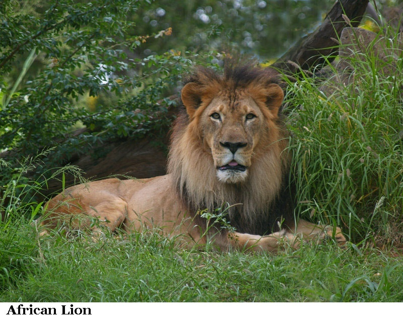 who is the king of the jungle lion or tiger-2