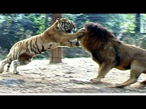 who is the king of the jungle lion or tiger-3